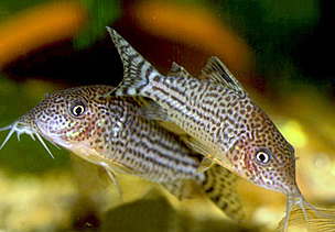 Corydoras Knowledgebase